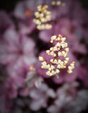 Coral bells Royalty Free Stock Images