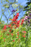 Coral bells flower in garden Royalty Free Stock Photography