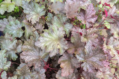 Coral Bells Foliage Closeup Background Royalty Free Stock Images