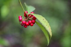 Seeds of Ardisia cornudentata stock photos