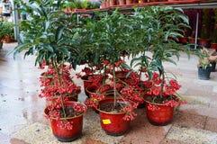 Coral Berry Plants Fotografia Stock