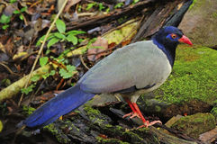 Coral-billed Ground-Cuckoo Royalty Free Stock Photo