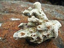 Coral blanco en una roca Imagen de archivo
