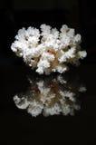 Coral blanco reflejado en negro Foto de archivo libre de regalías