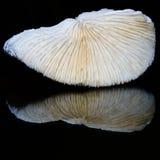 Coral blanco reflejado en negro Fotografía de archivo libre de regalías