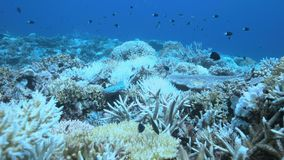 When a coral reef dies. Coral bleaching on Apo Reef, Philippines May 2016 stock footage