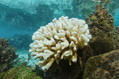 Coral bleaching due to El Nino French Polynesia. Coral bleaching, Pocillopora coral bleached due to El Nino, Pacific ocean, shallow water of Huahine island Royalty Free Stock Photography