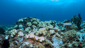 Coral bleaching. Occurs when sea surface temperatures rise Royalty Free Stock Images