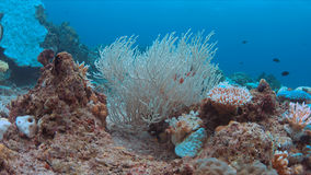 Coral bleaching. Occurs when sea surface temperatures rise Royalty Free Stock Image
