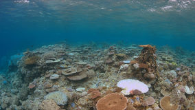 Coral bleaching. Occurs when sea surface temperatures rise Royalty Free Stock Photo