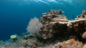 Coral bleaching. Occurs when sea surface temperatures rise Royalty Free Stock Photos