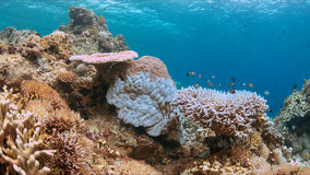 Coral bleaching. Occurs when sea surface temperatures rise Royalty Free Stock Photography