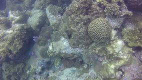 Coral bleaching occurs when sea surface temperatures rise causing the symbiotic zooxanthellae. stock video footage