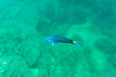 Coral blue and green fish royalty free stock images