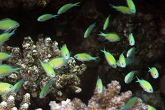 Coral and bluegreen chromis Stock Photography