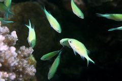 Coral and bluegreen chromis Royalty Free Stock Photo