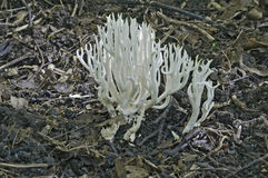 Coral branco (kunzei de Ramariopsis) Imagem de Stock Royalty Free