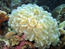 coral bubble Zdjęcia Stock