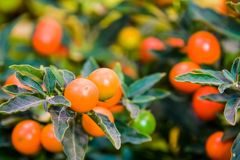 Coral bush, Solanum pseudocapsicum, decorative nightshade stock photography