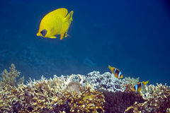 Coral and butterflyfish Royalty Free Stock Image