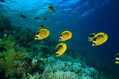 Coral and Butterflyfish Stock Photo