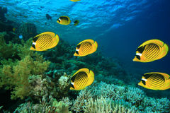 Coral and Butterflyfish Stock Image