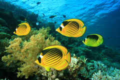 Coral and Butterflyfish Royalty Free Stock Images