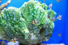 Coral cardinalfish Royalty Free Stock Images