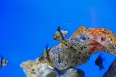 Coral cardinalfish Stock Photography