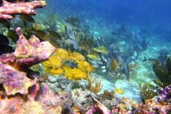 Coral caribbean reef Mayan Riviera Grunt fish Stock Photo