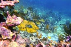 Coral caribbean reef Mayan Riviera Grunt fish. Caribbean coral reef in Mayan Riviera with Grunt fish yellow blue stripes Stock Photo
