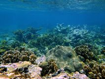 Coral in the caribbean sea Royalty Free Stock Image