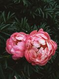 Blooming Coral Charm Peonies royalty free stock images