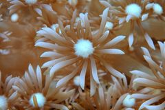 Coral. Close up of stony coral with open polyps royalty free stock photography