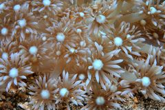 Coral. Close up of stony coral with open polyps royalty free stock images