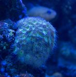 Coral closeup detail under blue lights royalty free stock images