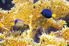 Coral Cnidarians,Angel-fish. And Zebrasoma yellowtail in the Red Sea.Egypt royalty free stock photo