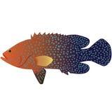 Coral Cod Stockfotografie