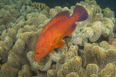 Coral Cod Photographie stock