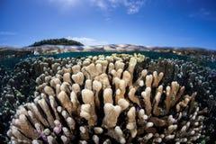 Coral Colonies en eau peu profonde Photo stock