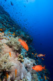 Coral colony Stock Photography