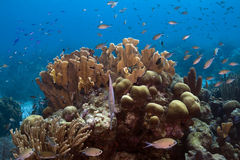 Coral colony. Underwater Bonaire - coral reef scene a colony of life Stock Photo
