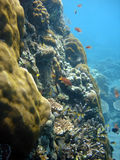Coral colony and coral fish. Royalty Free Stock Photos