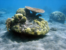 Coral colony and coral fish. Royalty Free Stock Images