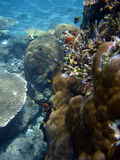 Coral colony and coral fish. Royalty Free Stock Photo