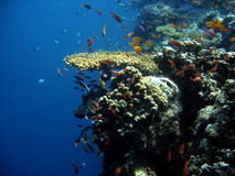 Coral colony and coral fish. Royalty Free Stock Photography
