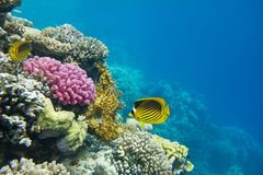 Coral colony Royalty Free Stock Image