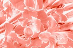 Coral color gladiolus flowers pattern background. Flower background. Closeup royalty free stock images