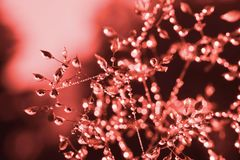 Beautiful macro droplets , flower detail in trendy coral color on the black background royalty free stock photography