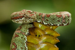 Coral-Colored Eyelash Viper - Costa Rica Royalty Free Stock Images